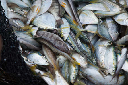 Fresh uncooked fish in net unsorted, many different kinds