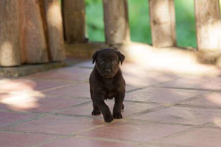 Black Lab puppy  8 weeks Old meeting older dog