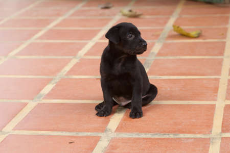 Black Lab puppy looking 9 weeks sitting and looking photo