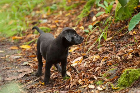 Black Lab puppy looking 11 weeks Old exploring leaves and forest