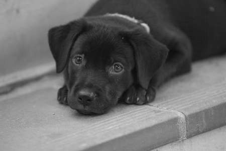 Black Lab puppy looking 11 weeks Old B W image black and white image on stairs