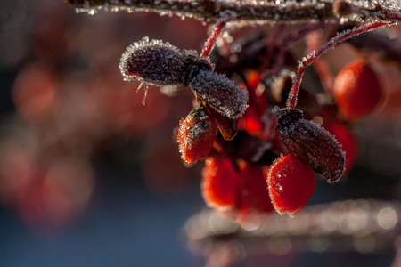 Red Berrys with back lite Ice Crystals against dark blurred background