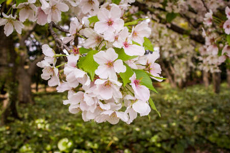 Japanese Cherry Blossoms, close-up and into distance. Stock Photo