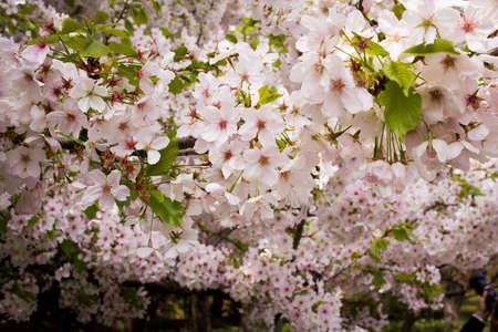 Japán cseresznye, kivirul, közelkép, és a távolba Stock fotó