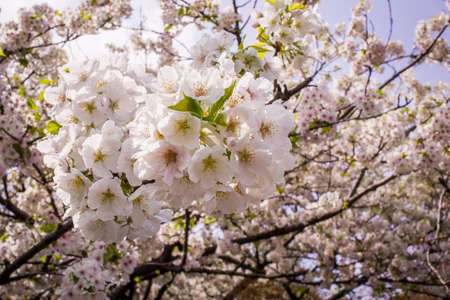 Japanese Cherry Blossoms, close-up and into distance