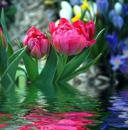 tulip with water reflection. photo