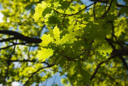 ry: Green oak leaves
