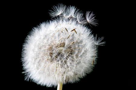 origins: Dandelion loosing its seed in the blowing wind Stock Photo