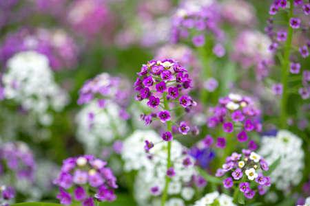 alison: Alyssum Flowers