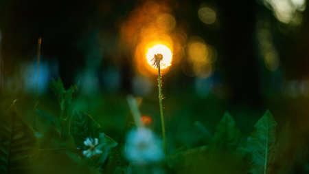 Macro shot of a single white dandelion in nature 版權商用圖片 - 123197483