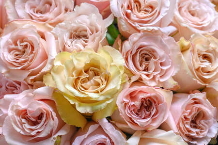 Pastel pink roses texture, top view, close up Stock fotó