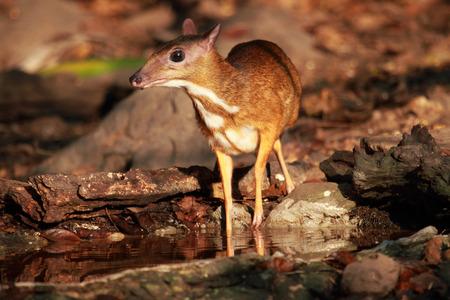 Mouse deer at Kaeng Krachan National Park in Thailand photo