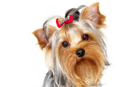 Yorkshire terrier portrait on isolated white background photo