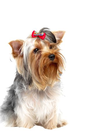 Small Yorkshire Terrier isolated on white background photo