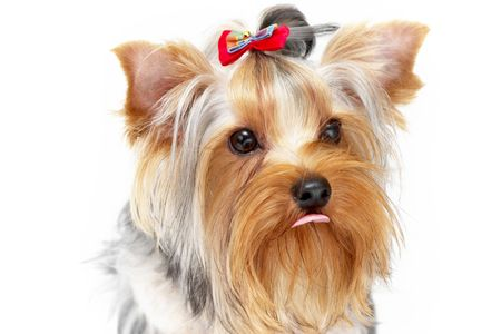 Yorkshire Terrier portrait isolated on white background photo