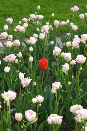 Red tulip in the flower bed over white tulips photo