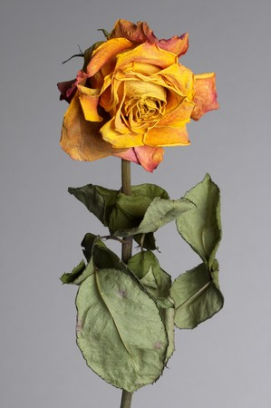 Dried rose flower with leafs over grey background