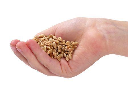 sementi: Heap di semi di grano in mano isolata su sfondo bianco