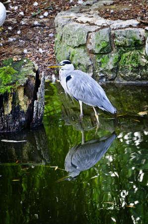 grey heron: Grey Heron standing in a still reflective water