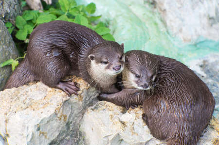 cuddles: cute pair of otters wet brown otters cuddling