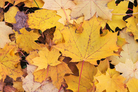 dry yellow leaves in Autumn texture background Stock Photo