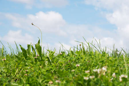 patch of grass with small flowers and s blue sky with clouds in the background