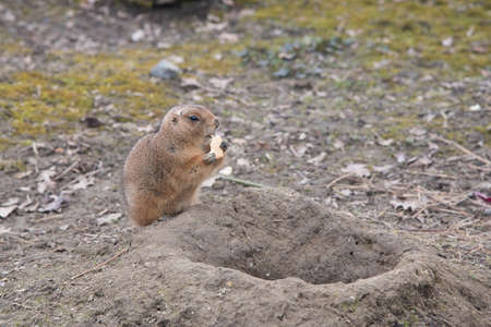 small cute brown prairie dog sitting and eating a small biscuit