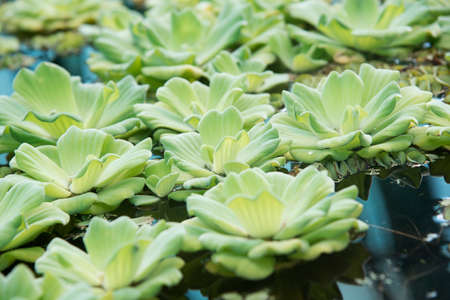 Pistia plants on the water on a sunny day shoot with narrow focus