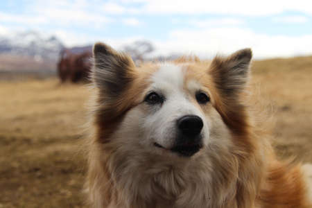 Close-up portrait of an Icelandic sheepdog on a remote farm in Iceland.