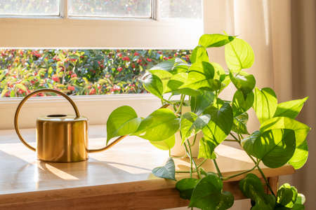 Indoor Golden pothos houseplant next to a watering can in a beautifully designed home interior. Stock Photo