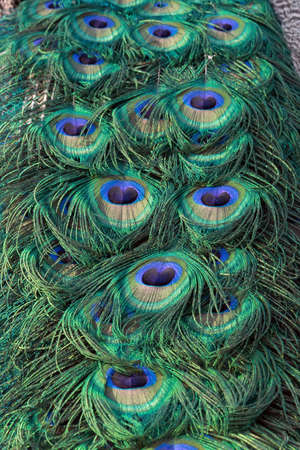 pavo: beautiful indian peacock (Pavo cristatus) tail close up