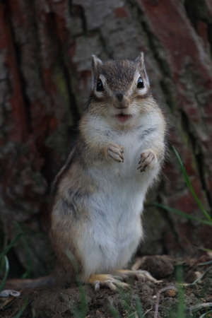 The Eastern Chipmunk (Tamias striatus) standing on hind legs photo
