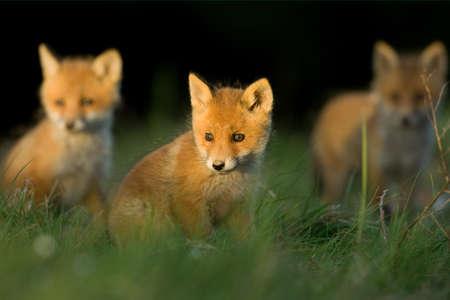 red fox: red fox