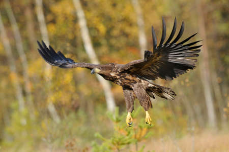 white tailed eagle Zdjęcie Seryjne