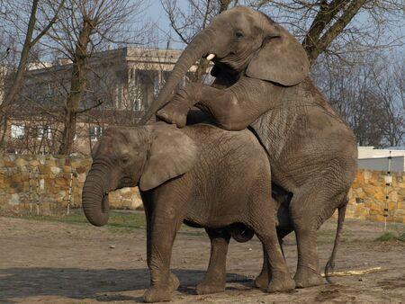 copulate: elephants love 2