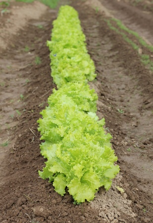 Color photograph on a bed of lettuce photo