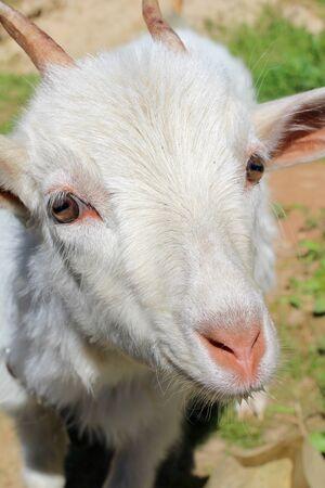 cabra: Cabra blanca sobre un fondo de hierba verde Foto de archivo