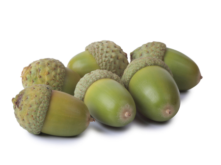 acorn seed: Green acorns on a white background