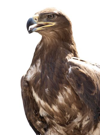 chrysaetos: Head of a large eagle on a white background
