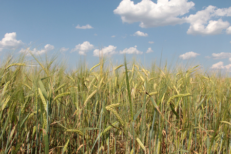 Large field of fresh wheat in countryside Stock Photo