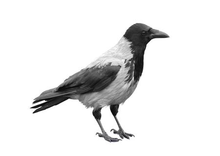 Großer schwarzer wilder Rabe auf weißem Hintergrund