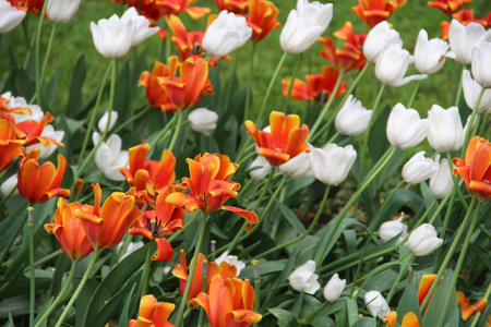 Multicolored tulips on nature Imagens - 124961632