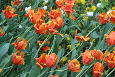 Multicolored tulips on nature Imagens - 124961633