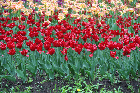 Multicolored tulips on nature Imagens - 124961634