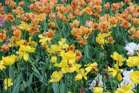 Multicolored tulips on nature Imagens - 124961635