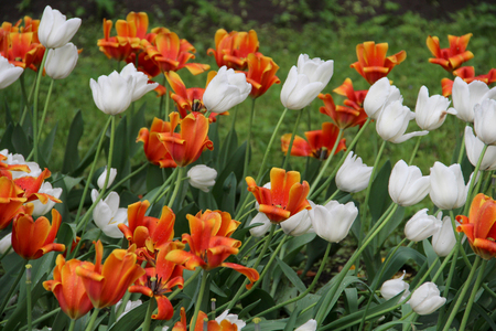 Multicolored tulips on nature Imagens - 124961637