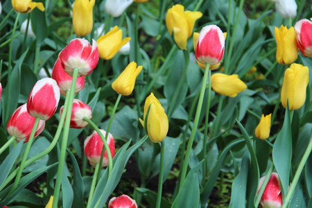 Multicolored tulips on nature Imagens - 124961638