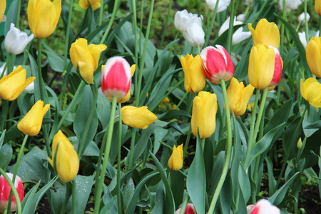 Multicolored tulips on nature