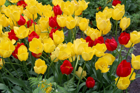 Multicolored tulips on nature Imagens - 124961641