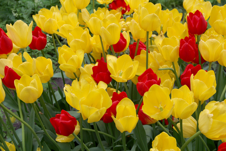 Multicolored tulips on nature Imagens - 124961643